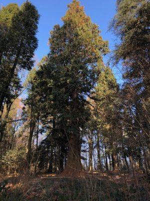 Riesiger Mammutbaum bei Heidelberg